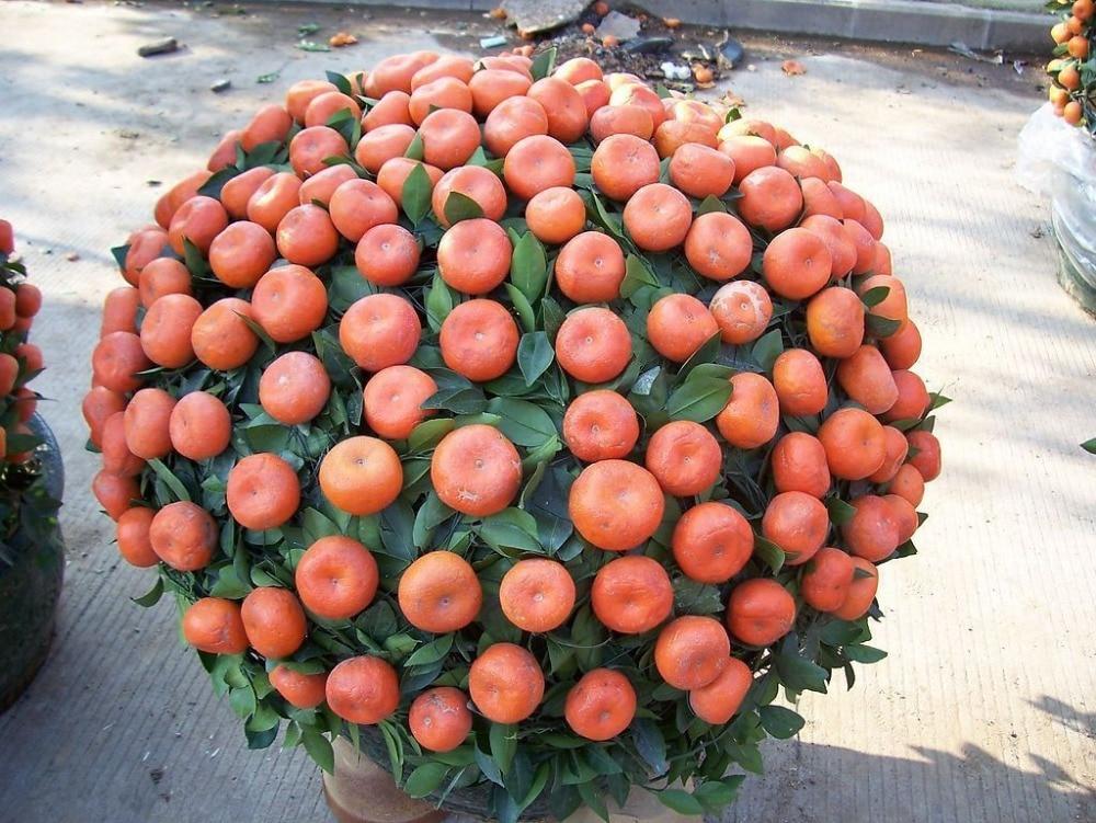 macetas para arboles frutales. good cmo cultivar rboles frutales