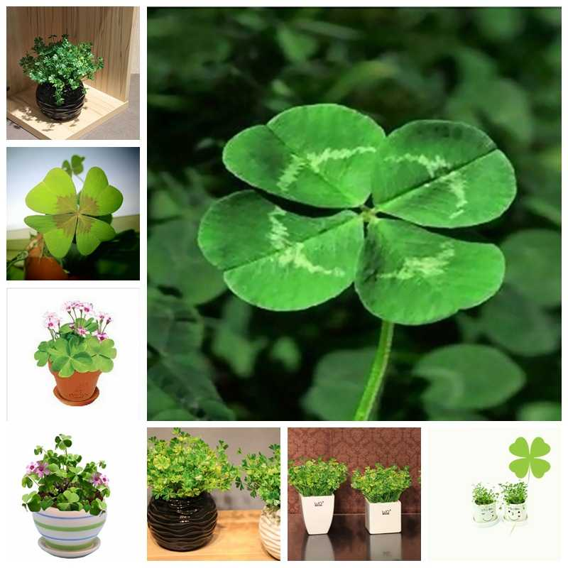 New Arrival 100 Pcs / Bag Bonsai Four Leaf Clover Trifolium Repens Mixed Dutch Clover Bonsai Diy Home & Garden Potted Planting