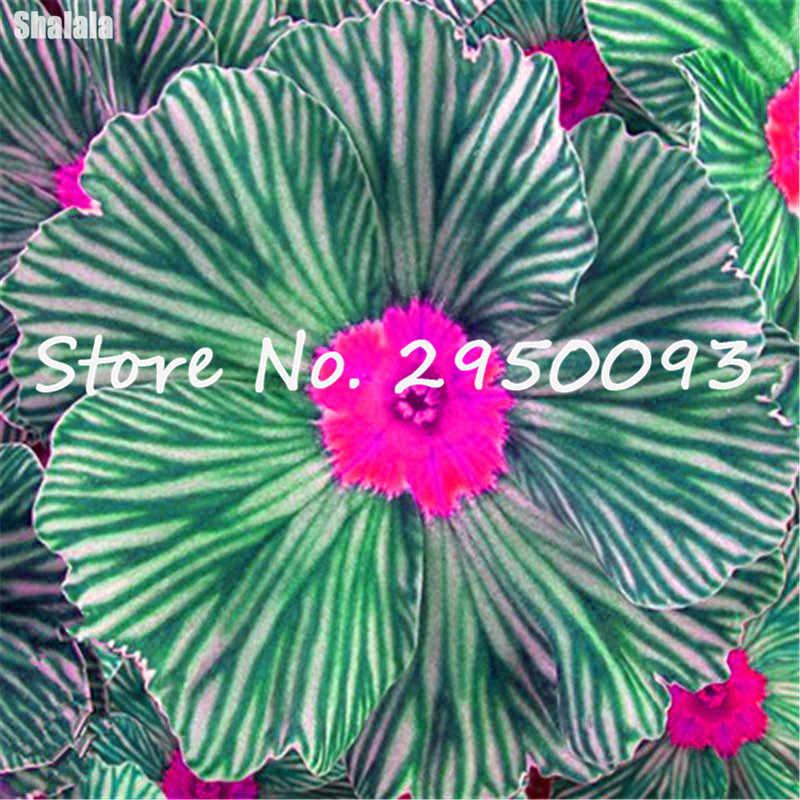 150 pz/borsa Importato Da Sera Primula Bonsai Perenne Fioritura Delle Piante Balcone Giardino Interno di Fioritura Fiori In Vaso Piantare