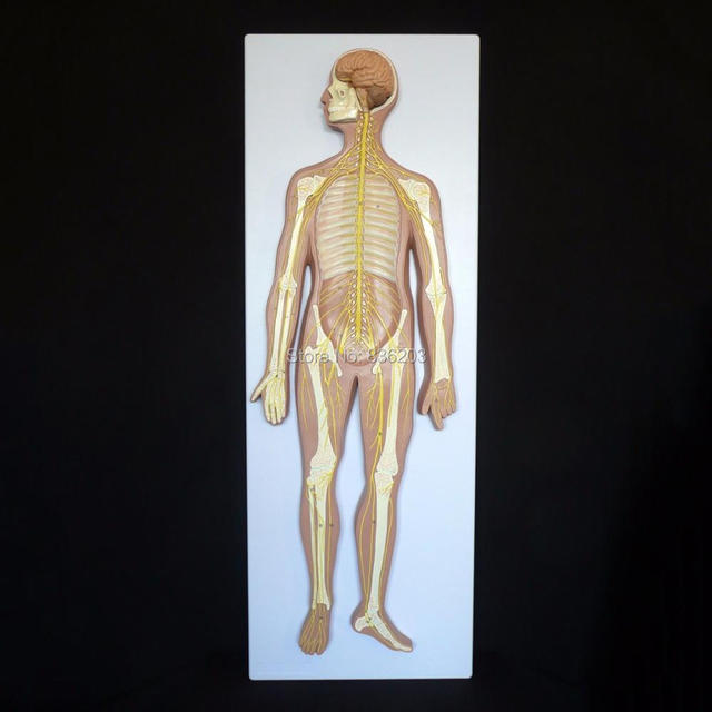 Human Anatomy Nervous System Anatomical Model Heart Anatomy Skull