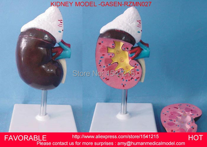 ANATOMICAL KIDNEY ,HUMAN KIDNEY ANATOMICAL MODEL URINARY SYSTEM MEDICAL SCIENCE TEACHING SUPPLIES,KIDNEY MODEL GASEN-RZMN027 shunzaor dog ear lesion anatomical model animal model animal veterinary science medical teaching aids medical research model