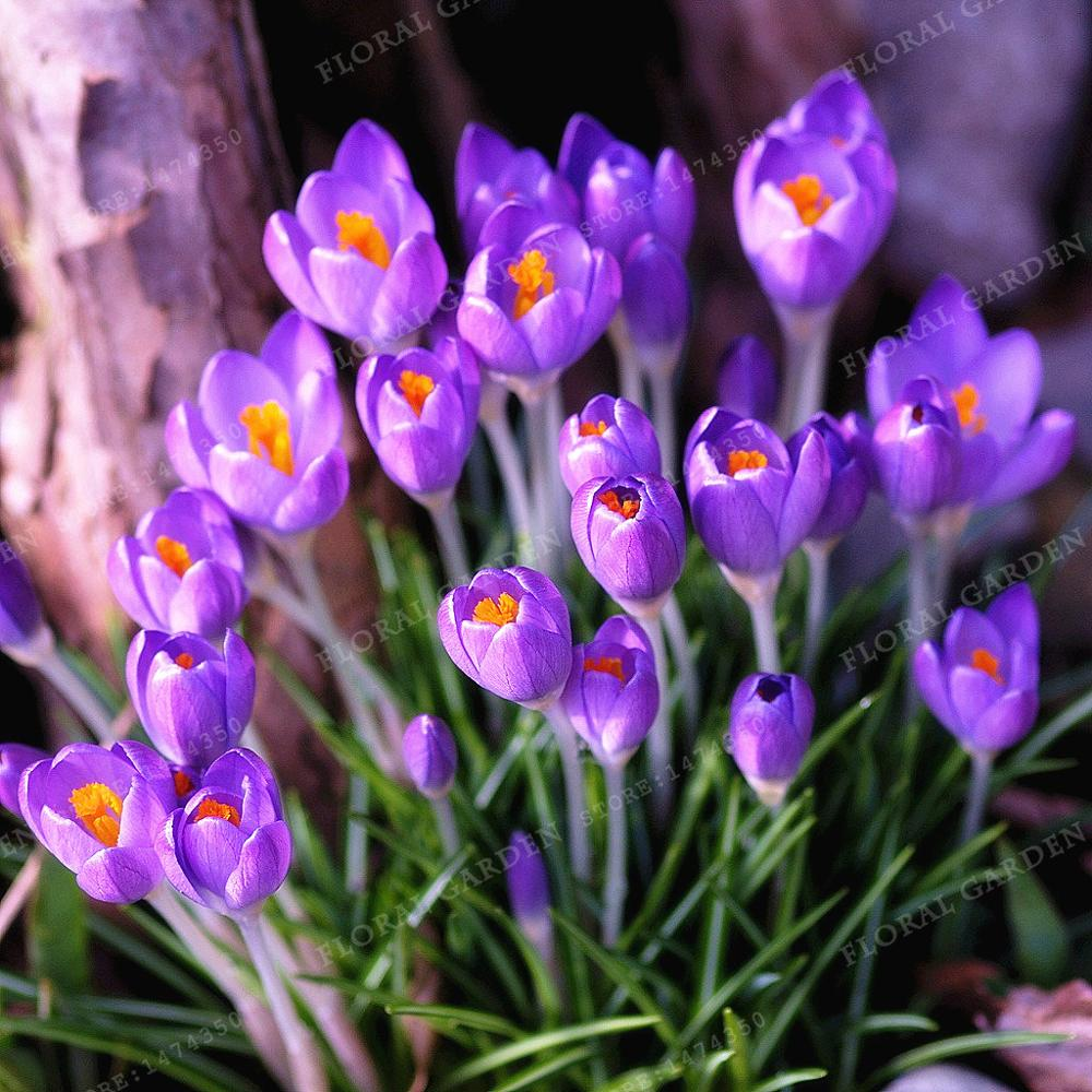 true color mixing crocus saffron bulbsiran saffronnot saffron seedflower bulbshappy joy flowersbonsai home garden 2bulbs in bonsai from home garden