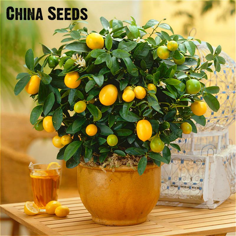 20 Pcs Bonsai Orange Seeds No-gmo Mini Bonsai Tree Balcony Patio Potted Dwarf Fruit Trees Kumquat Seeds Home Garden Citrus Plant