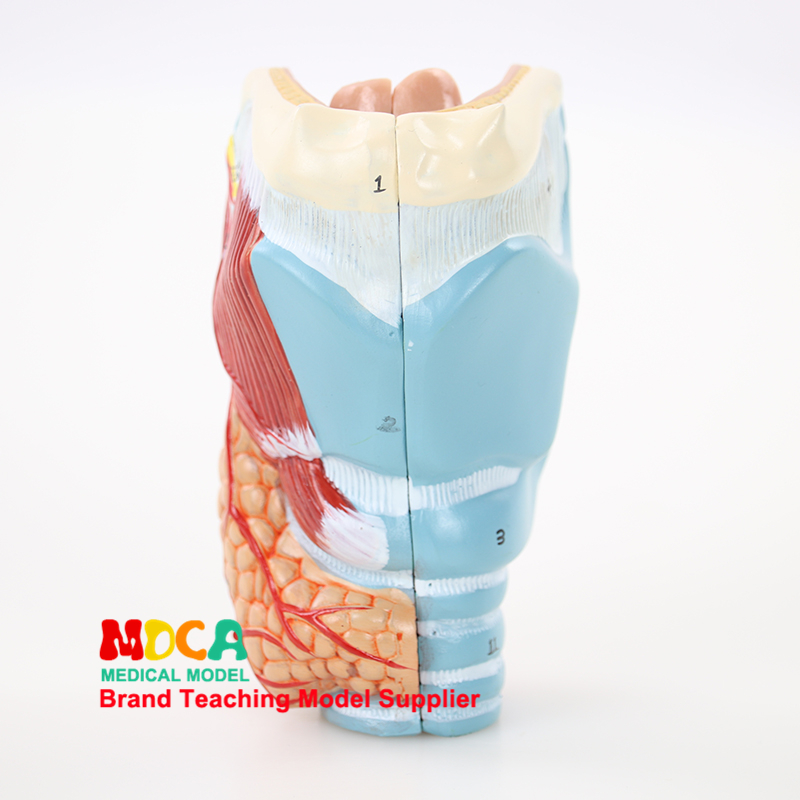 Separation Of Two Parts Of Parathyroid Gland, Pharynx, Larynx, Respiratory System, Larynx Anatomical Model Medical Teaching