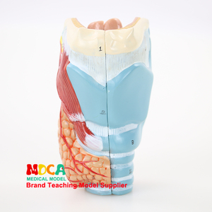 Separation of two parts of parathyroid gland, pharynx, larynx, respiratory system, larynx anatomical model medical teaching(China)