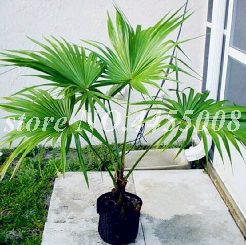 Christmas Palm Tree  seedlings Bare root 20 inch or taller 3 Adonidia Palm
