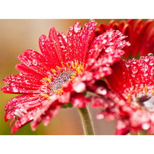 DIY 5D Diamond Embroidery picture crystal painting mosaic red chrysanthemum diamond home decoration wall stickers Z132 5d diy diamond painting chrysanthemum