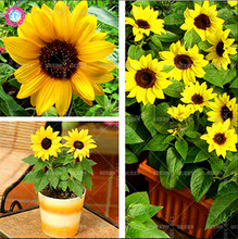 20pcs Mini Bonsai Sunflower Seeds Indoor Dwarf Bonsai Series Flower Seeds Height 40cm Potted for Home Garden Fast shipping