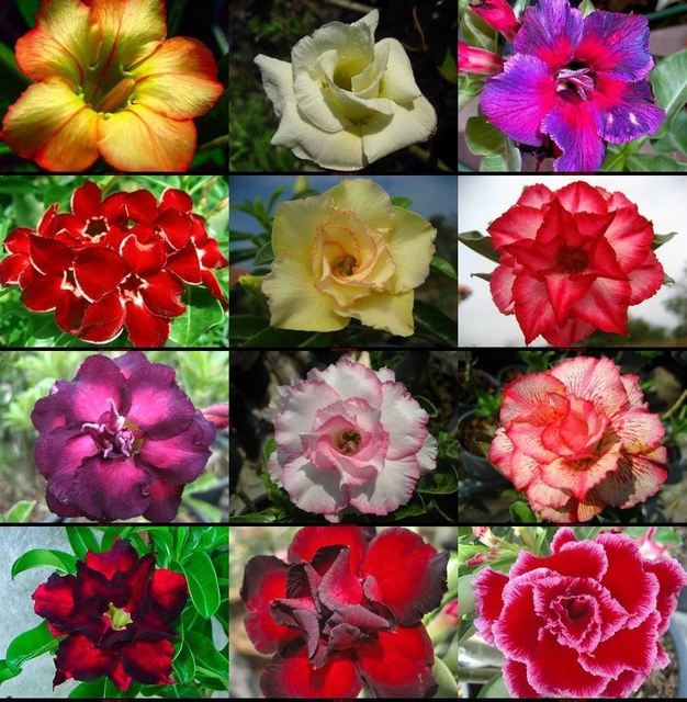10 Seeds 100 Genuine Fresh Rare Adenium Obesum Bonsai Desert Rose Flower Plant