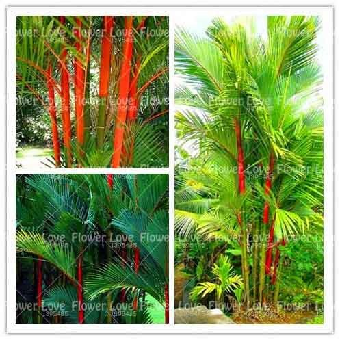 10 PCS Ruj Palmiye Bonsai Cyrtostachys Renda Ağacı, kırmızı Sızdırmazlık Balmumu Palmiye Bonsai Süs Için saksı Bitkileri Ev Bahçe bitki