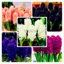 100 pcs/bag New Hyacinth Seeds Best Germinate Pond Aquarium Seeds Indoor home Fissidens Flowers Pots for Bonsai plant(China)