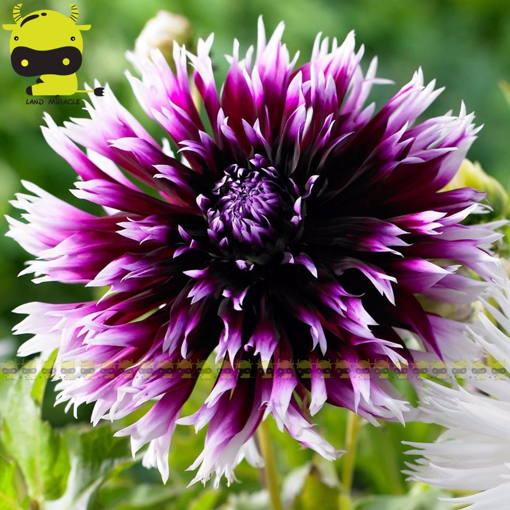 Burgundy Purple Dahlia Flower Seeds 50 Seedspack Rare Alauna
