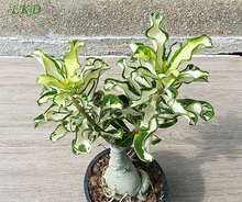 7-12inch Rooted Adenium Obesum Variegated Plant Thailand Rare Real Desert Rose Variegated Plants Siam-LKD-411rosas do deserto