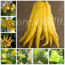 50 Pcs Mixed Bergamot Bonsais Family Potted Plants Gold Buddha Hand Purify Air,Bonsais Finger-Citron Bergamot Vegetable Plant(China)