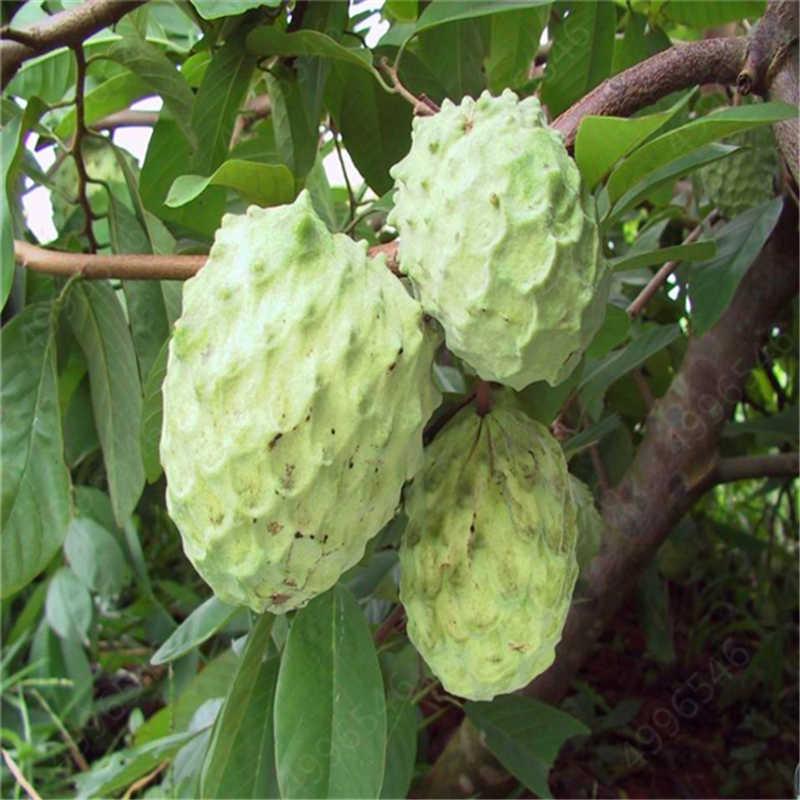 5 шт. бонсай плод соурсоп Graviola Annona Muricata завод многоцветный Sweetsop вкусные, сладкие фруктоза Apple растение для домашнего сада