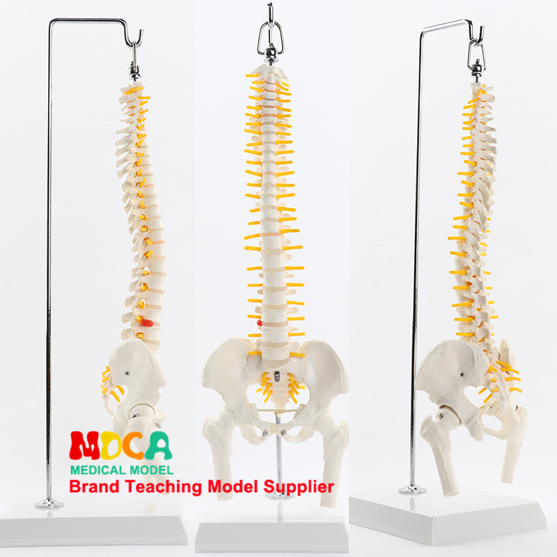 45cm Hanging Flexural Spine With Femur Massage Beauty Human Spine Model Medical Teaching MJZ101