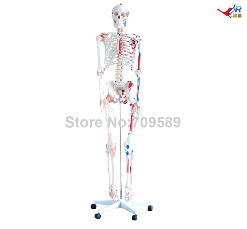 Skeleton with Muscles and Ligaments 180cm Tall, Human Skeleton 12363 cmam skeleton03 life size professional medical skeleton with muscles and ligaments 170cm skeleton model