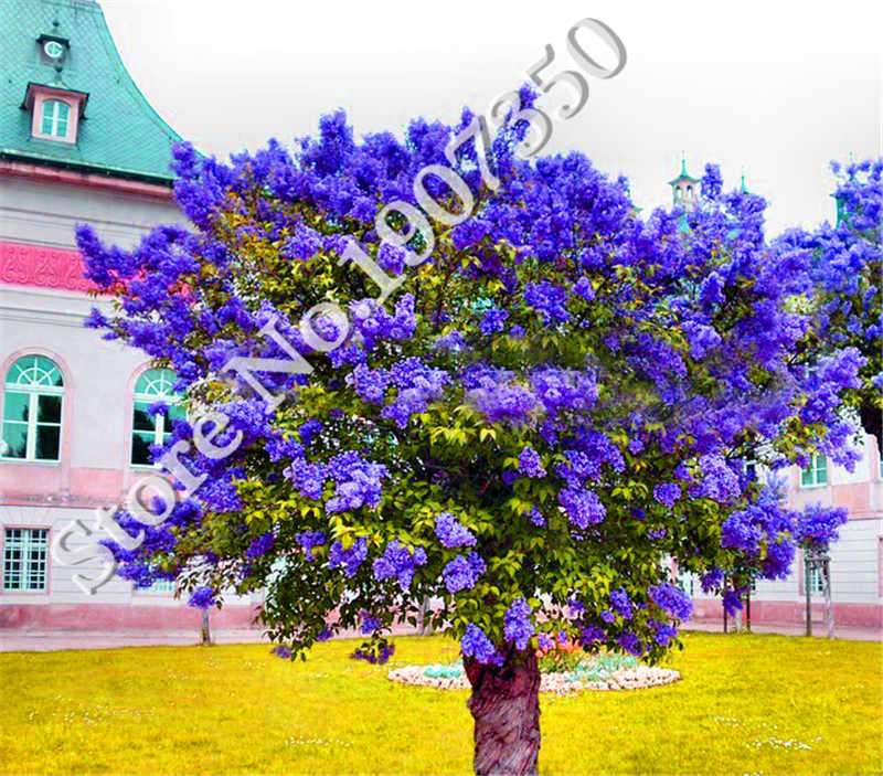 100 Pcs/Bag Bonsai Lilac flower Japanese Lilac (Extremely Fragrant) Clove Flower tree Lilac Trees Outdoor Plant for Home Garden