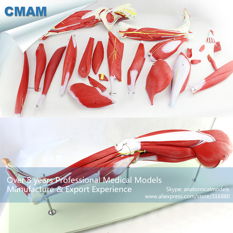 12027 CMAM-MUSCLE18 New 23 Parts Human Leg Muscle Anatomy Model for Hospital School Education cmam viscera01 human anatomy stomach associated of the upper abdomen model in 6 parts