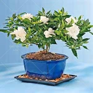 эухарис цветы комнатные доставка из Китая