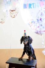 Handmade Circus Theme Gold Blue Red Pet Dog t Birthday
