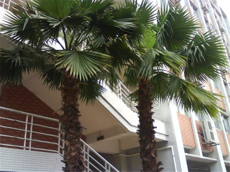 Real Indoor Trees Part - 27: Real Chinese Dictionary Tree Seeds Indoor Bonsai Washingtonia Filifera  Outdoor Foliage Plants Countryard Sementes-in Bonsai From Home U0026 Garden On  ...
