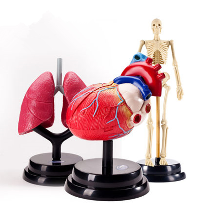 Children 3 in 1 Human Body Structure Physiological Model Set Toy : Cardiology n Respiratory n Orthopedics, Kids Medical Teaching ben buchanan brain structure and circuitry in body dysmorphic disorder