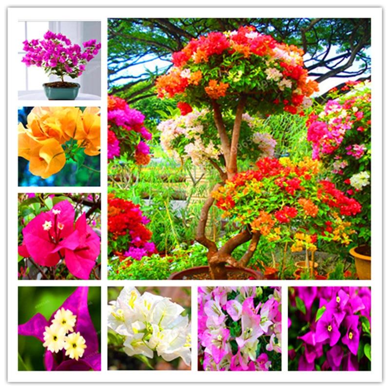 100 Pcs/Bag Bougainvillea Bonsai Colorful Bougainvillea Spectabilis Willd Perennial Flower Garden Bonsai Pot