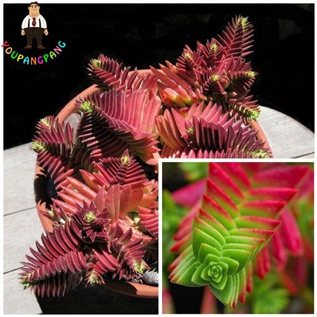 100 pz Rare Exotic Cactus Succulente bonsai Crassula Capitella Thyrsiflora Rosso
