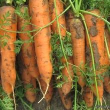 Lohas Wucun Ginseng Seeds Vegetable Nutrition Carrot Seeds 15seeds