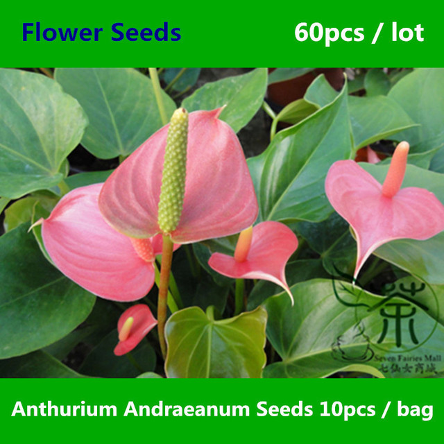 Beautifying anthurium andraeanum 60pcs brightly colored beautifying anthurium andraeanum 60pcs brightly colored tailflower flower mightylinksfo Images