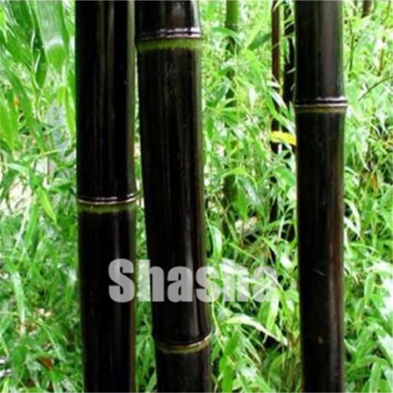 Huge 50 Pcs Black Bamboo Bonsai Giant Phyllostachys Pubescens Black Moso Bamboo Bonsais Hardy -Giant