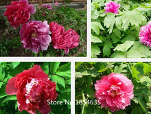 Garden Plant Colorful Chinese Peony Flower Seeds, 1 Professional Pack10 Seeds / Pack, Rare 'Er Qiao' Tree Peony Bonsai Seed