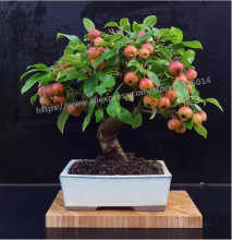 Rare apple  fruit bonsai tree plants 30 pcs Bonsai Apple Dwarf Tree indoor plant for home garden new magnetic simulation apple tree apple tree
