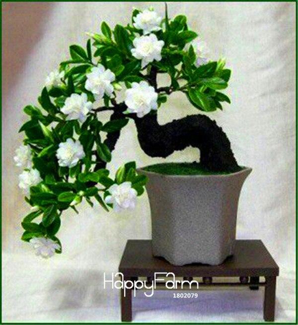 Tempo-Limite!! 100 Pcs Sementes Gardenia (Jasmim de Cabo)-DIY Início Jardim Bonsai Em Vaso, cheiro incrível & belas flores para o quarto, # MW