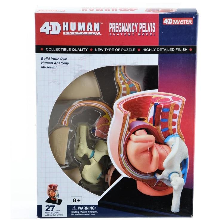 3d frauen schwangerschaft uterus fetal anatomie montiert modell ...