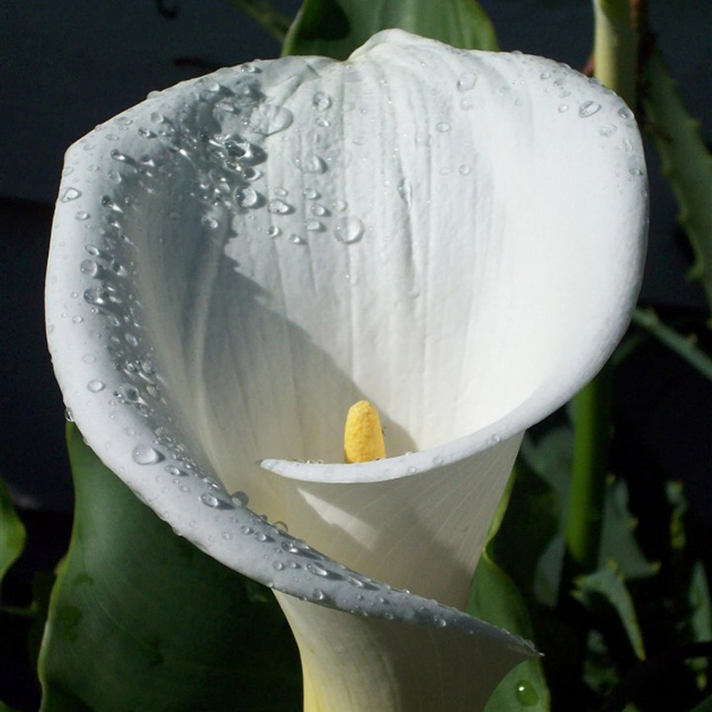Hot Sale Rare White Calla Lily Seeds Balcony Potted Bonsai Patio Plant Seeds Aethiopica Flower Seeds 120PCS