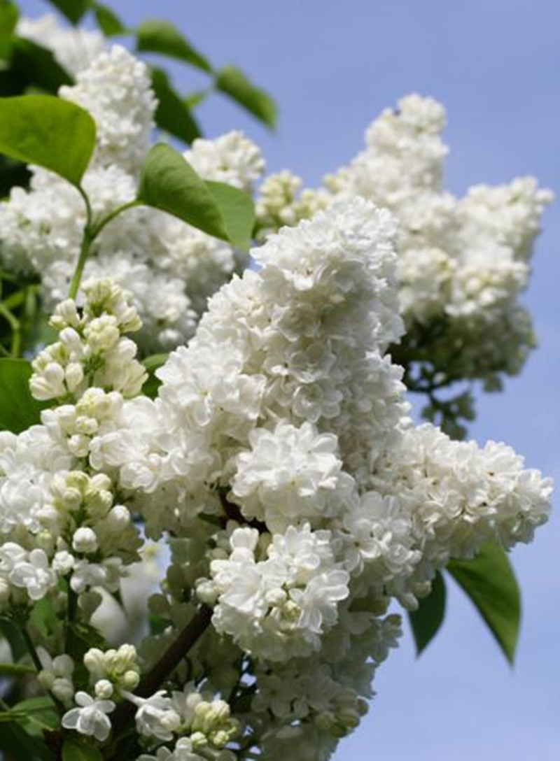 100seeds Potted Flowers White Lilac Flower Seeds Balcony Bonsai