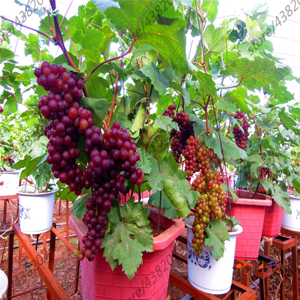 50 Pcs Grape Plants Organic Heirloom Fruit Miniature Grape