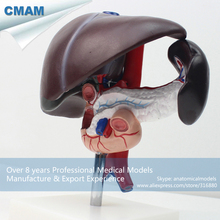 CMAM-VISCERA03 Human Liver, Pancreas and Duodenum Anatomy Model,  Medical Science Educational Teaching Anatomical Models