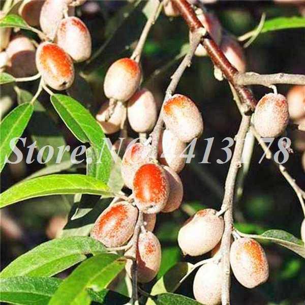 10 Pcs/bag Cina Zaitun Hijau Dimakan Tanam Bonsai Tanaman Buah Pohon untuk Spring Farm Taman Rumah Pot Perlengkapan Mudah tumbuh