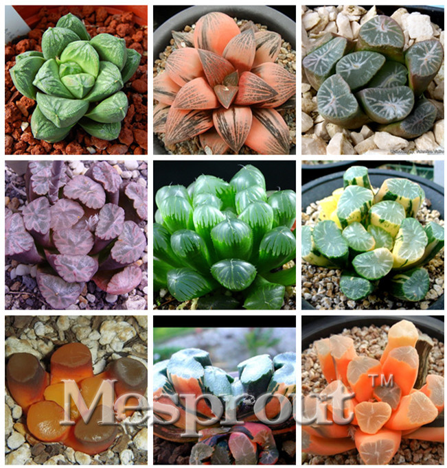 Haworthia Truncata Hybrid Succulent plants potted Plants Home Garden Bonsai