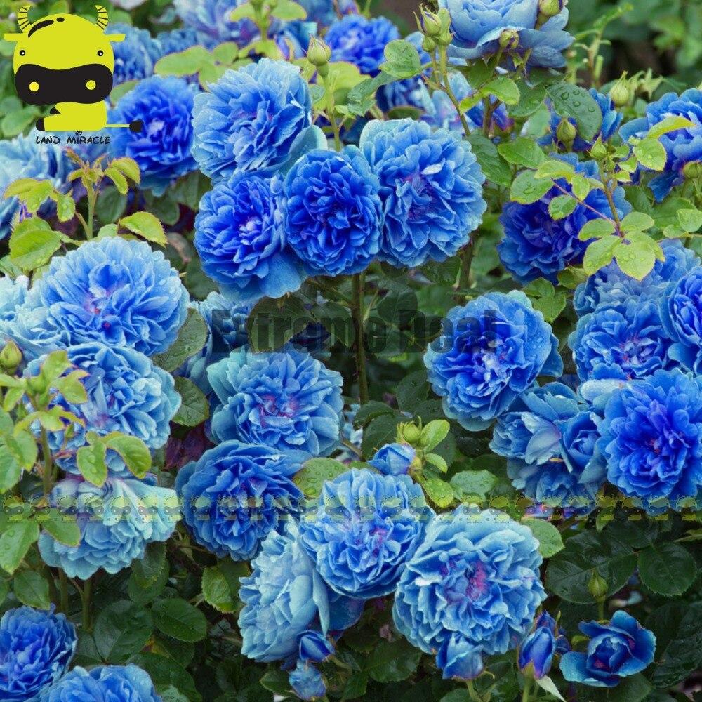 blue rose rampicanti-acquista a poco prezzo blue rose rampicanti ... - Piante Da Giardino Rampicanti
