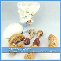 ED SKULL01 1 Anatomy Cranial Nerve Plastic Skull Model with Free Brain , Medical Science Educational Teaching Anatomical Models