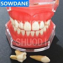 Dental Study Teaching Model Standard Model Removable Teeth Soft Gum ADULT TYPODONT Model lower jaw of adult dentition model teeth dental model