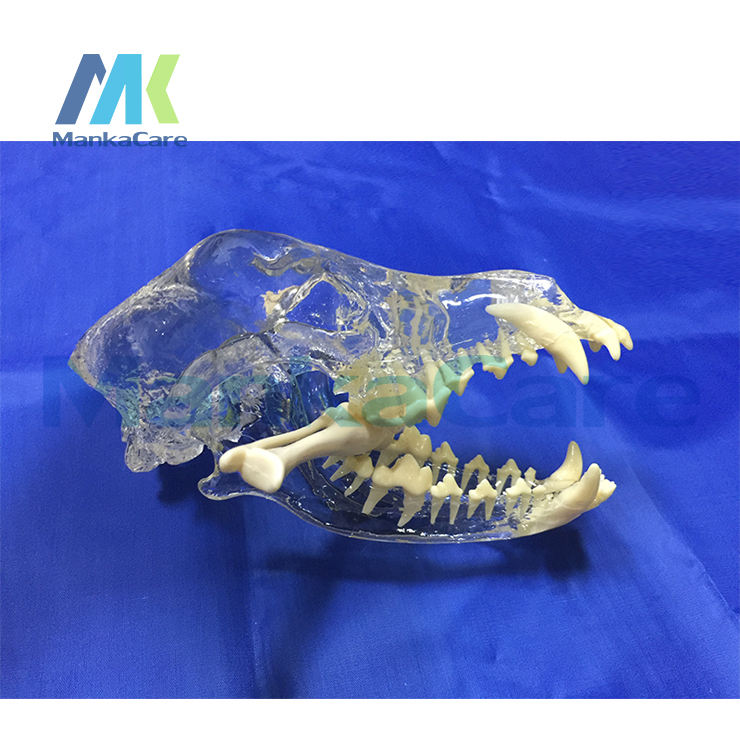 Dog Dentition Model The Dog Teeth Skull Jaw Bone Transparent Solution Planing Teaching Veterinary Animal Model Specimens