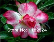 20 семена — свежий редкие » розовый апрель » Adenium Obesum семена — бонсай семена