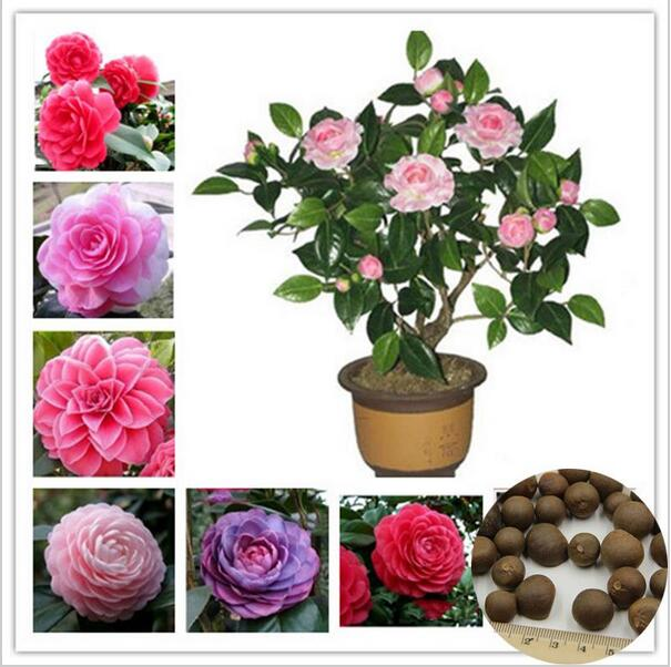 5 Seeds / Pack Camellia Seeds, Flower Seeds, Diy Potted Plants, Indoor / Outdoor bonsai pot plant for home garden