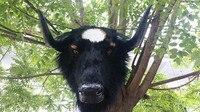 Большой Моделирование корова модели головы пластиковые и мех крупного рогатого скота голова куклы подарок 56x38x50 см A132