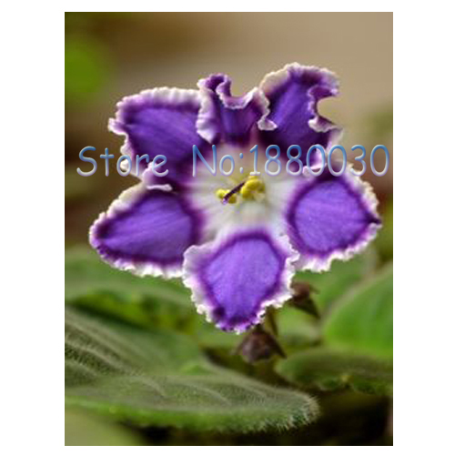 Elegant Hibiscus Flower Seed Strong American DIY Home Garden Or Potted Plants Easy To Grow Flowers50PCS